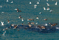 seals and seabirds herd and feed